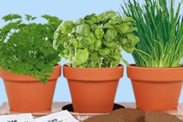 How To Sow Herb Seeds?